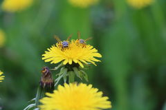 Bee on a dandelion. Two bees collect nectar from dandelions Stock Photo