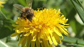 Bee on a dandelion. A bee on a yellow dandelion stock video
