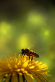 Bee on a dandelion. royalty free stock photography