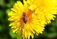 Bee on the dandelions flower in the spring. Bee on the dandelions flower close up in the spring stock photos