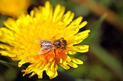 Bee on the dandelions flower in the spring. Bee on the dandelions flower close up in the spring stock photo