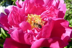 A bee among the delicate petals of a pink peony on a sunny summer day close-up an insect pollinates flowers and collects honey fro Royalty Free Stock Images