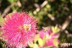 Bee departing Stock Photo