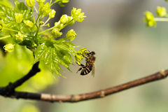 Bee in detail Royalty Free Stock Images