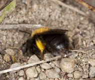 Bee digging in sand. Royalty Free Stock Images