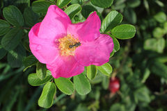 Bee on a dog rose flower Royalty Free Stock Photos