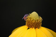 Bee and yellow flower. Bee drink nectar on yellow flower Royalty Free Stock Photo