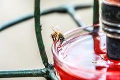 Bee drinking from a bird bath royalty free stock photos