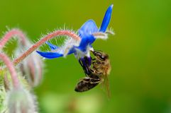 A bee  drinking nectar Stock Image