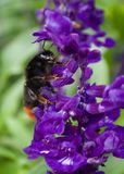 Bee drinking nectar. A great close up example of bees at Belton House near Grantham seeking nectar Stock Image