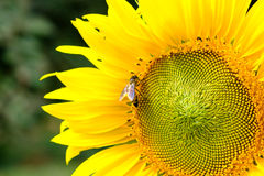 Bee drinking nectar from a sunflower pollen, Yellow flower with Stock Photography