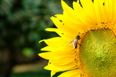 Bee drinking nectar from a sunflower pollen, Yellow flower with Stock Images