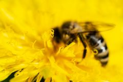 The bee is drinking nectar from a yellow dandelion. Soft focus photo. The bee is drinking nectar from a yellow dandelion. Soft focus photo Stock Photos