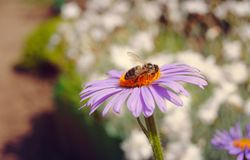 Bee drinking nectar. Bee drinking sweet nectar on purple daisy. Beautiful grandma`s garden and detail of insect Stock Photography