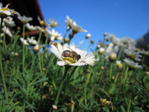 A bee drinks nectar from a daisy Royalty Free Stock Photography