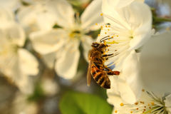 Bee drinks nectar of flowering Stock Photography