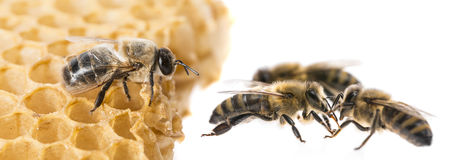Bee drone and bee workers. Close up royalty free stock photography