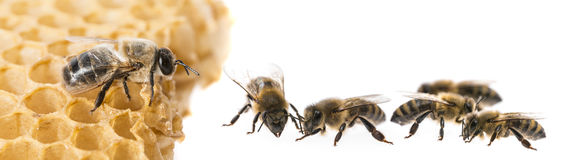Bee drone and bee workers. Close up royalty free stock images