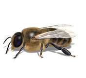 Bee drone Stock Photos