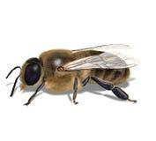 Bee drone Stock Photos