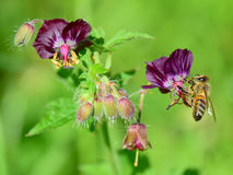 Bee on Dusky Cranesbills Royalty Free Stock Images