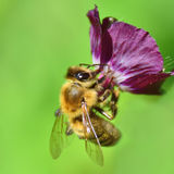 Bee on Dusky Cranesbills Royalty Free Stock Photography