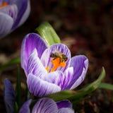 Bee at dutch crocus. Bee worker at violet dutch crocus stock photo