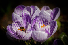 Bee at dutch crocus. Bee is working at the group of dutch crocus stock photo