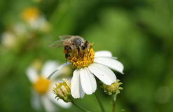 Bee eat pollen of spring white flower Royalty Free Stock Photo