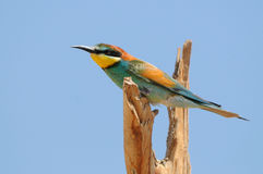 Bee-eater Stock Photo