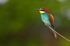 Free Bee-eater Royalty Free Stock Images - 1111579