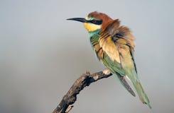 Bee-eater Imagens de Stock Royalty Free