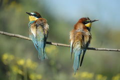 Bee-eater Photo libre de droits