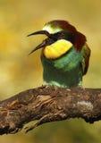 Bee-eater Fotos de archivo