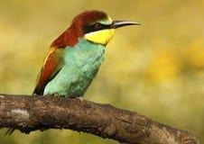 Bee-eater Imagen de archivo libre de regalías