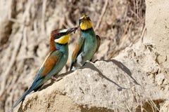 Bee-eater Imágenes de archivo libres de regalías