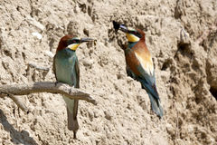 Bee-eater Royalty Free Stock Images