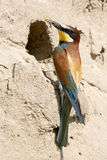 Bee-eater Stockfoto