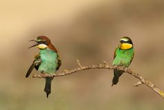 Bee-eater Photos libres de droits