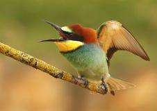 Bee-eater 267 Imágenes de archivo libres de regalías