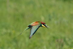 Bee-eater Immagini Stock Libere da Diritti