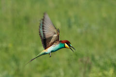 Bee-eater Images stock