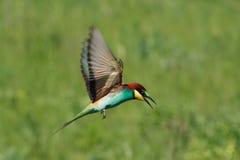 Bee-eater Imagenes de archivo