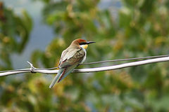 Bee-eater image stock