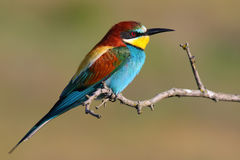 Bee Eater Stock Photography