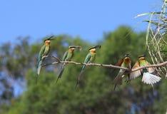Bee-eater Photo stock