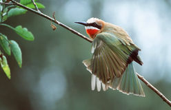 Bee-Eater. White fronted Bee-eater royalty free stock image