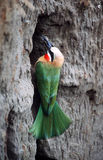 Bee-eater. White-fronted Bee Eater royalty free stock photography