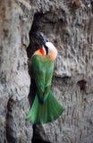 Bee-eater Fotografía de archivo libre de regalías