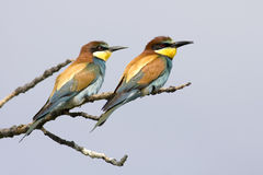Bee eater. Couple of bee eater birds over a blue background sky Royalty Free Stock Photos